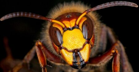 Giant Asian killer hornets spotted in Washington State